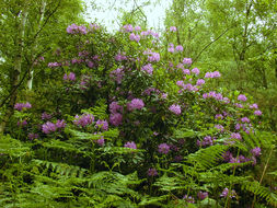 Image of Pontic Rhododendron