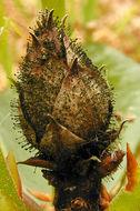 Image of <i>Seifertia azaleae</i> (Peck) Partr. & Morgan-Jones 2002