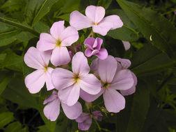 Image of Dame's-violet