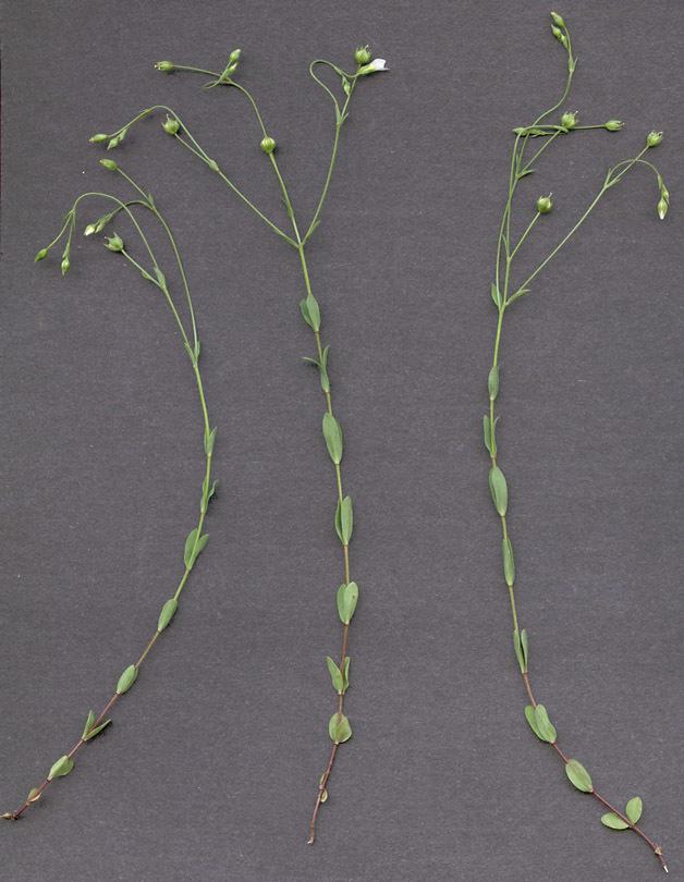 Image of fairy flax