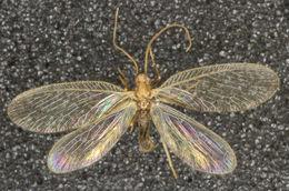 Image of <i>Micromus paganus</i> (Linnaeus 1767)