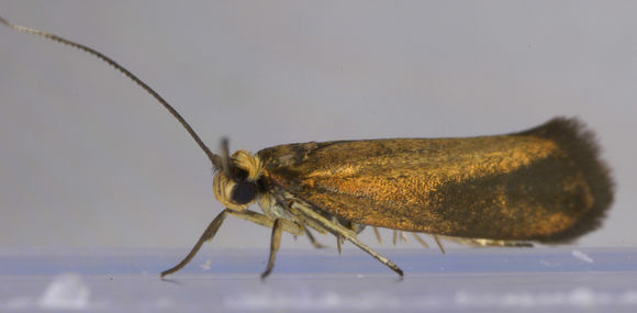 Image of Copper Ermel