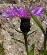 Image of <i>Centaurea nigra</i> var. <i>radiata</i>