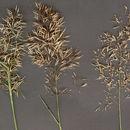Image of <i>Anguina agrostis</i> (Steinbuch 1799) Steinbuch 1799