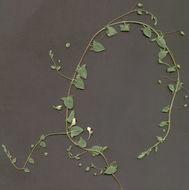 Image of harpleaf cancerwort