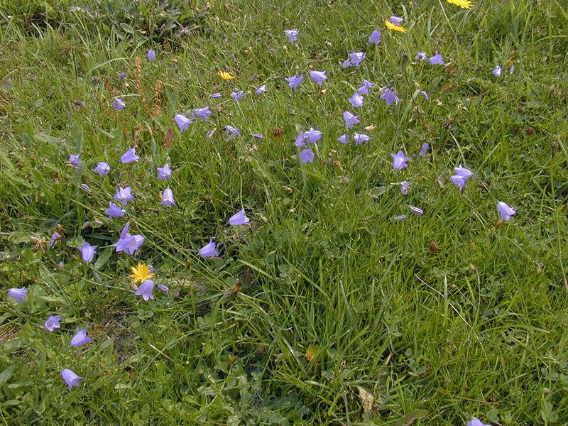 Image of bluebell bellflower