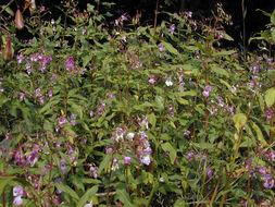 Image of Himalayan balsam