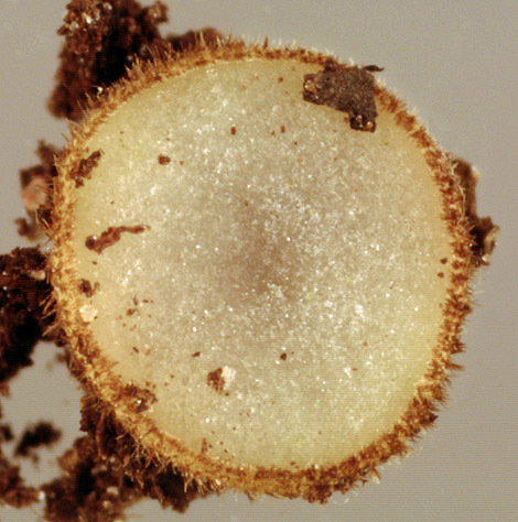 Image of <i>Trichophaea woolhopeia</i> (Cooke & W. Phillips) Boud. 1885