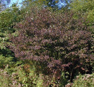 Image of bloodtwig dogwood