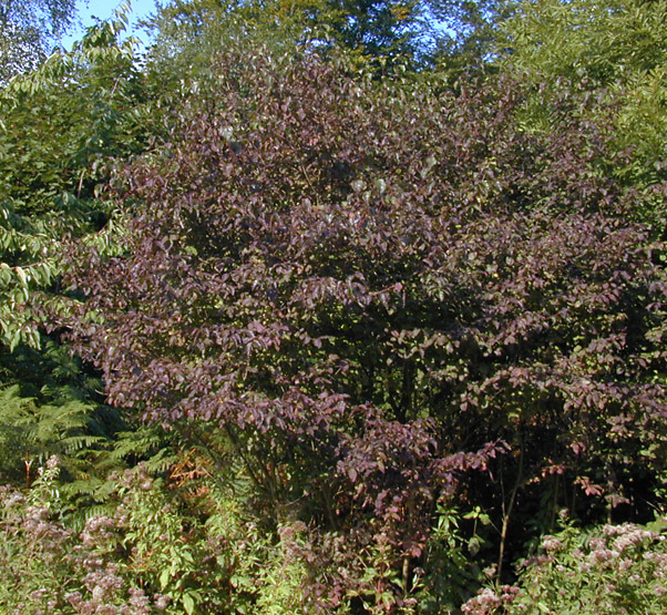 Image of bloodtwig dogwood