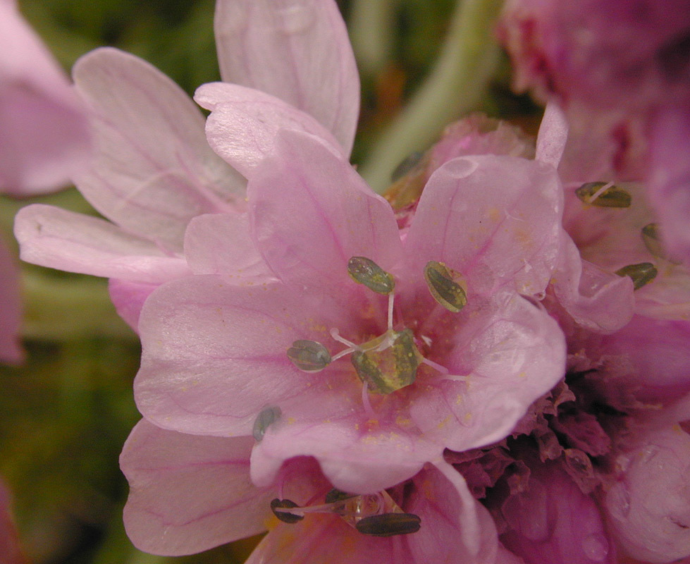 Image of thrift seapink