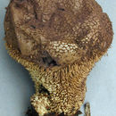 Image of <i>Lycoperdon echinatum</i> Pers. 1794