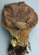 Image of <i>Lycoperdon echinatum</i> Pers. 1794