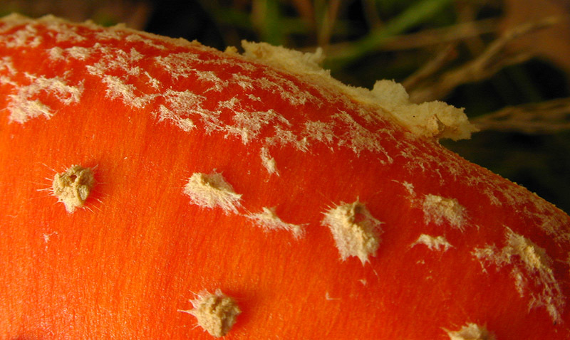 Image of Fly Agaric