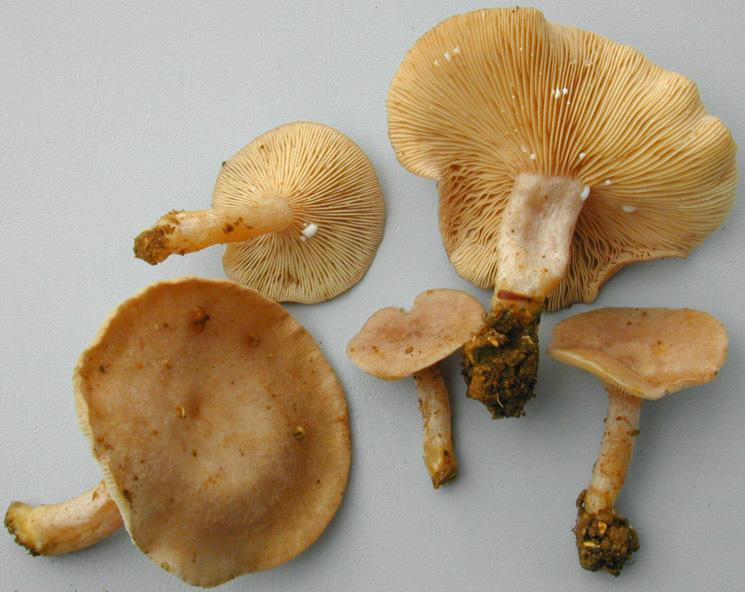 Image of <i>Lactarius glyciosmus</i> (Fr.) Fr. 1838