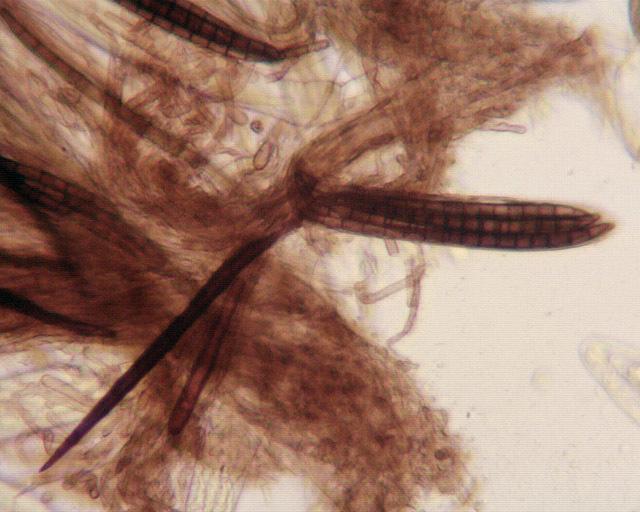 Image of <i>Trichoglossum hirsutum</i> (Pers.) Boud. 1907