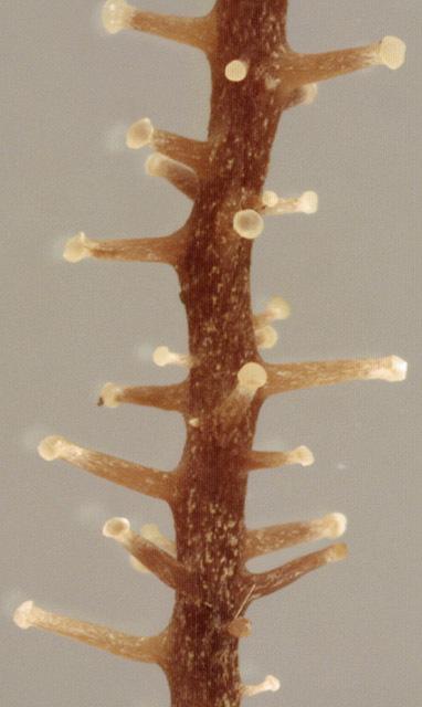 Image of Branched Shanklet
