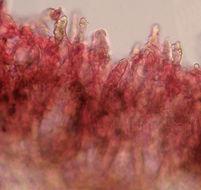 Image of <i>Amylostereum laevigatum</i> (Fr.) Boidin 1958