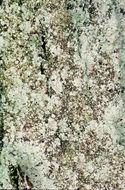 Image of dust lichen