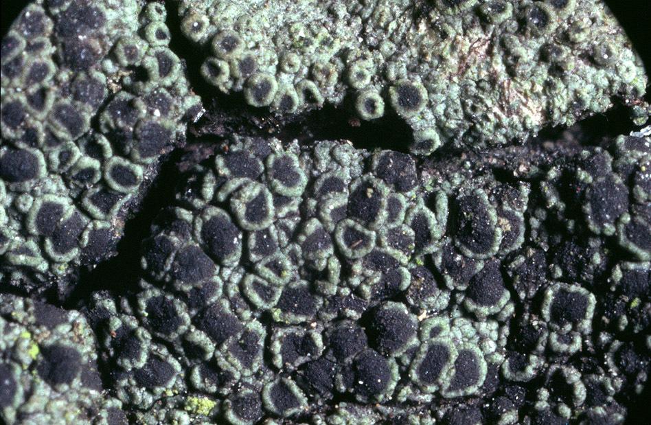Image of rinodina lichen