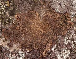 Image of cracked lichen