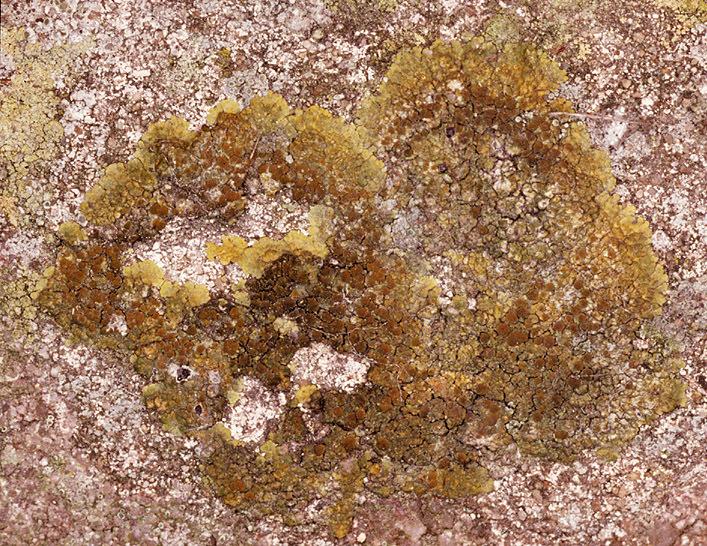 Image of orange lichen