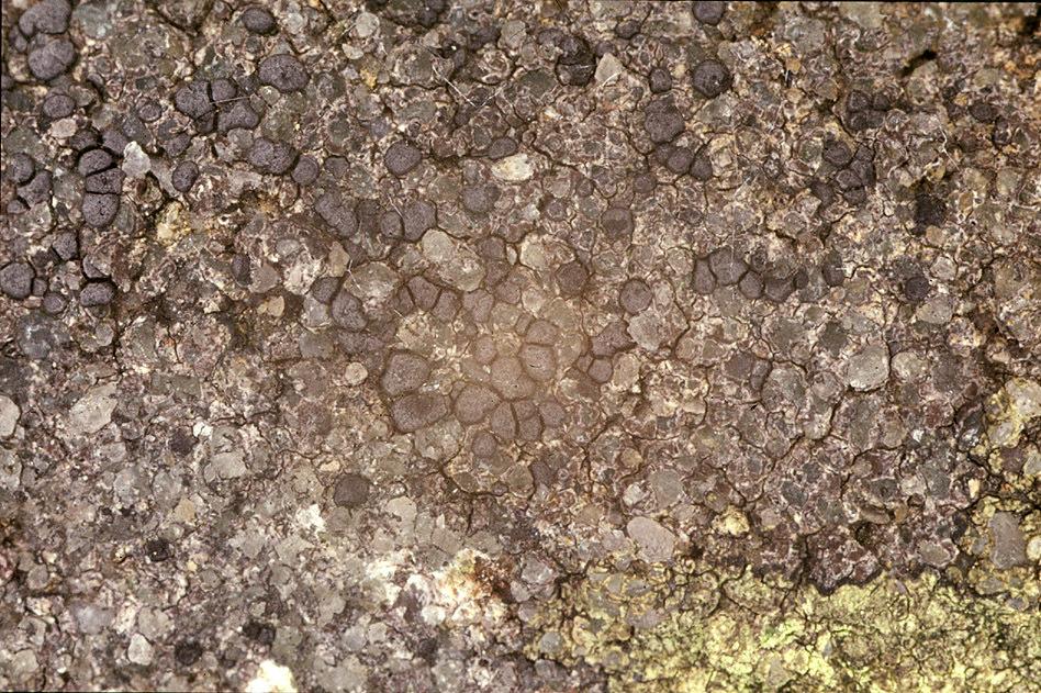 Image of <i>Porpidia cinereoatra</i> (Ach.) Hertel & Knoph