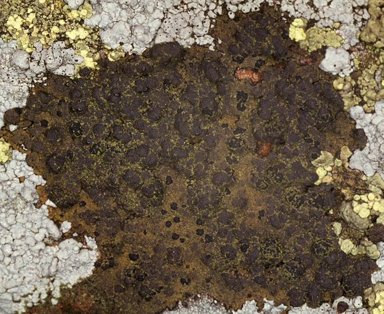Image of Oeder's map lichen