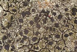 Image of blood lichen