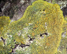 Image of <i>Caloplaca flavescens</i> (Huds.) J. R. Laundon