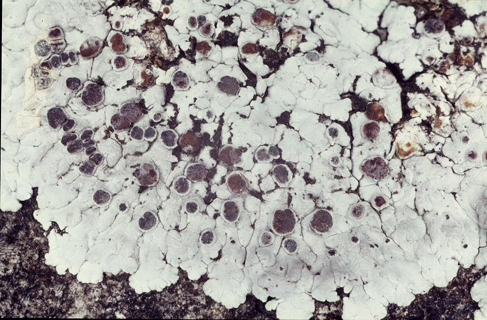Image of <i>Solenopsora candicans</i> (Dicks.) J. Steiner