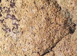 Image of <i>Caloplaca chrysodeta</i> (Vain. ex Räsänen) Dombr.
