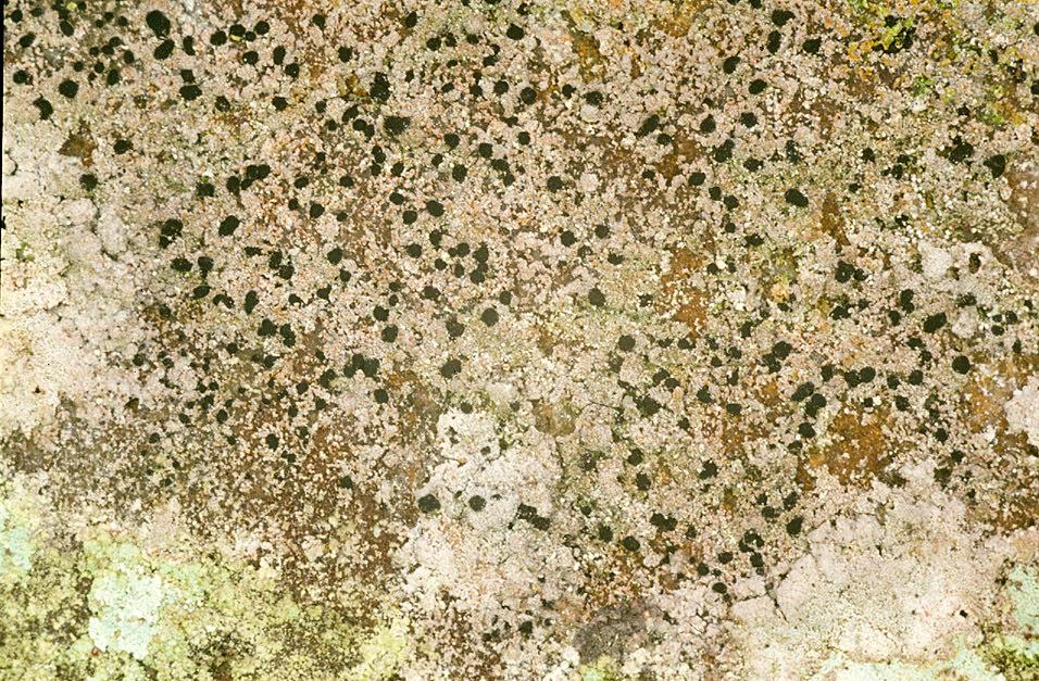 Image of dot lichen