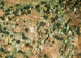 Image of <i>Arthonia vinosa</i> Leight.