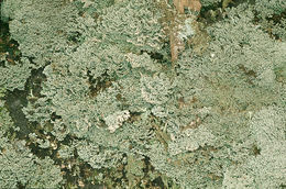 Image of <i>Bunodophoron melanocarpum</i> (Sw.) Wedin