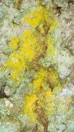 Image de <i>Chrysothrix candelaris</i> (L.) J. R. Laundon