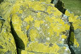 Image of Yellow map lichen;   World map lichen