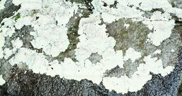 Image of <i>Lepraria nivalis</i> J. R. Laundon
