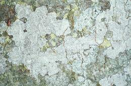 Image of <i>Dendrographa decolorans</i>