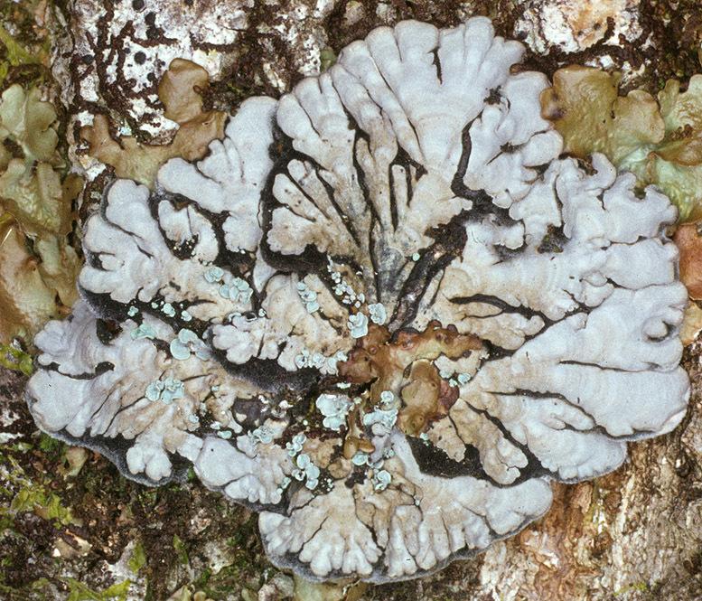 Image of <i>Pectenia cyanoloma</i> (Schaer.) P. M. Jørg., L. Lindblom, Wedin & Ekman
