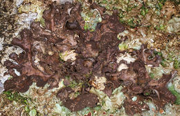 Image of spotted felt lichen