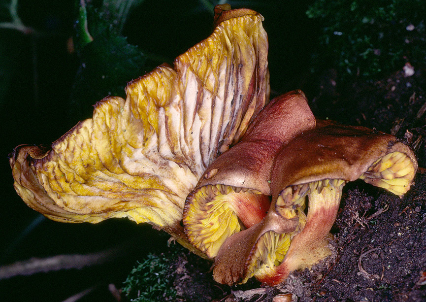 Image of Golden-gilled bolete