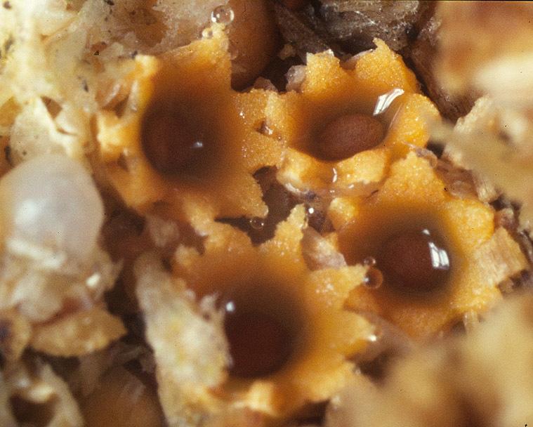 Image of <i>Sphaerobolus stellatus</i> Tode 1790
