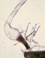 Image of Pilobolus