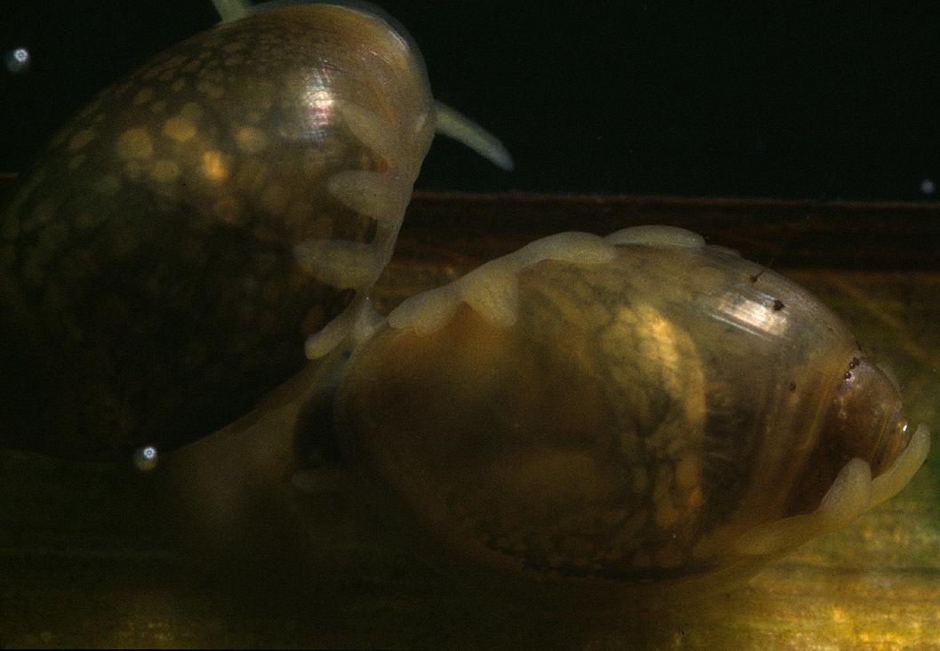 Image of Common Bladder Snail