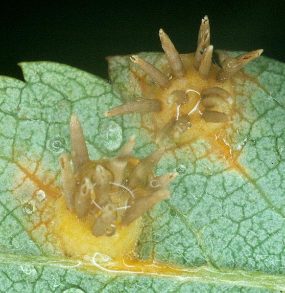 Image of <i>Gymnosporangium cornutum</i> Arthur ex F. Kern 1911