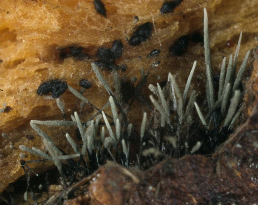 Image of <i>Cephalotrichum stemonitis</i> (Pers.) Nees 1809