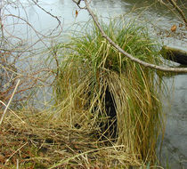 Image of Greater Tussock-sedge