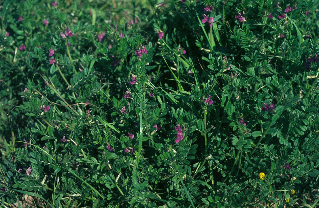 Image of Common Vetch