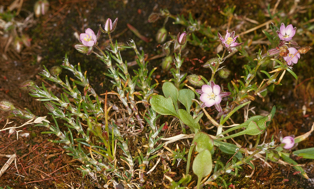 Image of red sandspurry
